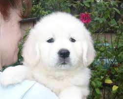 funny animals funny pictures white golden retriever puppies