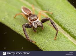 halloween jumping spider spider united states stock photos u0026 spider united states stock