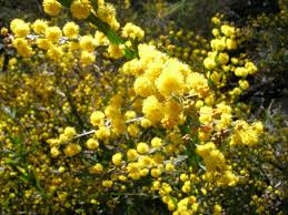native plants of massachusetts western australia native plants are flowering simply living