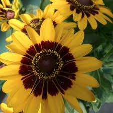 Lafayette Florist Gazanias At Lafayette Florist Stop In This Weekend And Plant