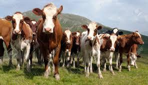 group of cows bos primigenius taurus in alps on pasture stock