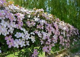 clematis montana to cover a 5 u0027 high fence gardening forum