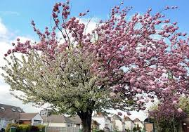 ornamental cherry trees types