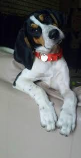 westminster bluetick coonhound 2016 this isn u0027t my cam but looks just like him love my hound