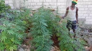 cannabis im garten marihuana pflanzen gie罅en geh羝rt zu rasta箒s alltag rasta s