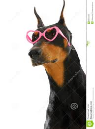 funky doberman royalty free stock images image 26460269