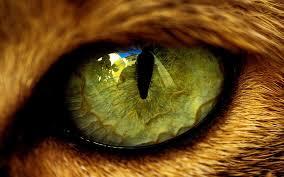 closeup of tiger eye macro photo and wallpaper eye