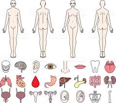 Pictures Of The Human Body Internal Organs Internal Organs Of The Human Body And Men And Women Stock Vector