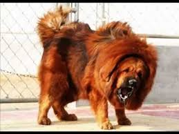 lion dogs the lion dog tibetan mastiff