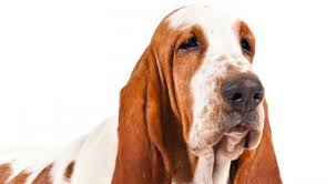 basset hound dog breed information american kennel club