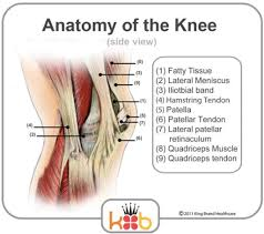 Lateral Patellar Ligament Anatomy Of The Patella Human Anatomy Library