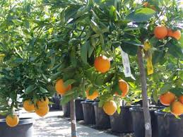small spaces type fruit trees evergreen nursery