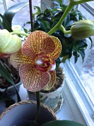 home depot black friday orchid re blooming phalaenopsis orchids at home extravagant gardens