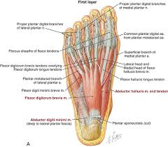 Foot Vascular Anatomy Foot And Ankle Musculoskeletal Key