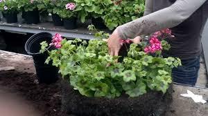 garden design garden design with begonia santa cruz sunset plants