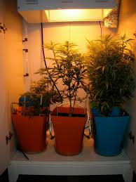 250 watt hps grow light smokefrogg s grow journal back down to 250 watt hps january 3 2010