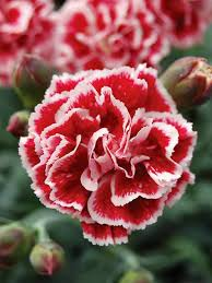 dianthus flower dianthus sugar plum bluestone perennials