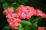 <b>Kalanchoe</b> blossfeldiana.