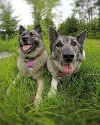 australian shepherd dogtime norwegian elkhound dog breed information pictures