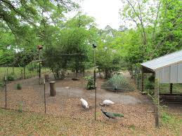 peafowl aviary ideas please backyard chickens
