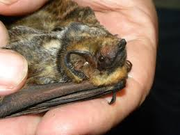 trick or treat the frightening threats to bats