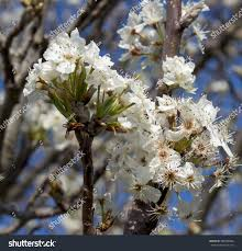 royalty free ornamental pear tree pyrus calleryana 386068090