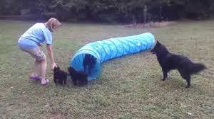 belgian sheepdog training blackforest belgian sheepdog puppies b litter playing with the
