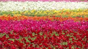 carlsbad flower garden behind the bloom at the flower fields in carlsbad nbc 7 san diego
