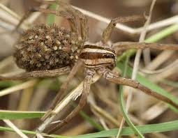wolf spiders mdc discover nature
