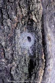 minden pictures stock photos spider s funnel web on tree bark