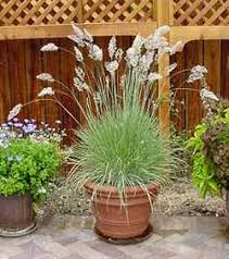 pink ruby grass i think i might try those in pots around the deck