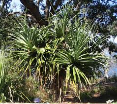 Tropical Plants Perth Pandanus Aquaticus Images Useful Tropical Plants