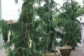 s photo gallery plants exotics false cypress
