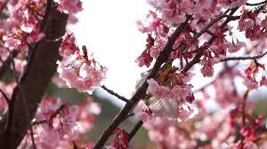 nightingale bird on pink cherry blossom tree in japanese garden