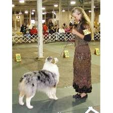 australian shepherd indiana plum ridge training centre australian shepherd dog breeder in