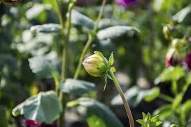blooming plants tips on getting dahlias to bloom reasons for dahlias not flowering