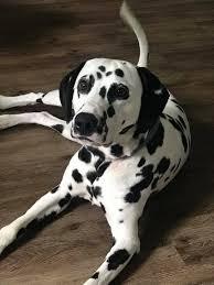 nashville dalmatians