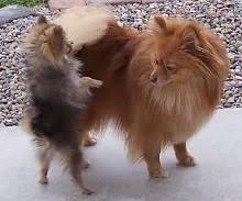 Pomeranian Meme - the 25 best pomeranian memes ideas on pinterest cute funny