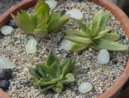 succulent arrangements seedlings india sedum adolphii succulent arrangement