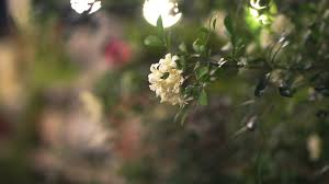 white flower jasmine in the light decorated beautiful garden at