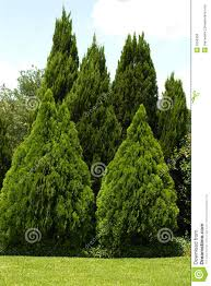 evergreen trees in green yard royalty free stock image image