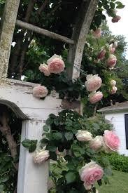 45 best thornless roses images on pinterest thornless roses
