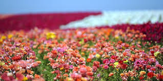 carlsbad flower garden the perfect time to catch these flowers in full bloom huffpost