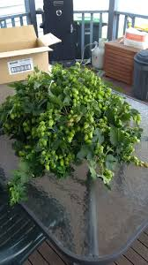 growing hops carnie brewing
