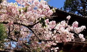 zen garden cherry blossoms relaxation mindfulness meditation