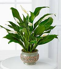 Green Plants Blooming Green Plants Ftd Flowers Roses Plants And Gift Baskets