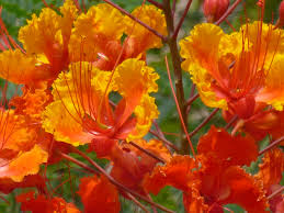 Mexican Yellow Red Bird Of Paradise Plants Are Poisonous U2013 Tjs