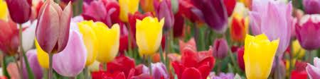 bulk tulips bulbs bulk daffodil bulbs wholesale tulip bulbs