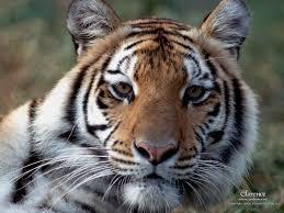 tiger desktop wallpaper tiger bengal and siberian tigers
