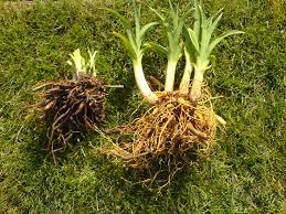 Stella Daylily Planting Daylilies Daylily Care Daylily Propagation Daylily